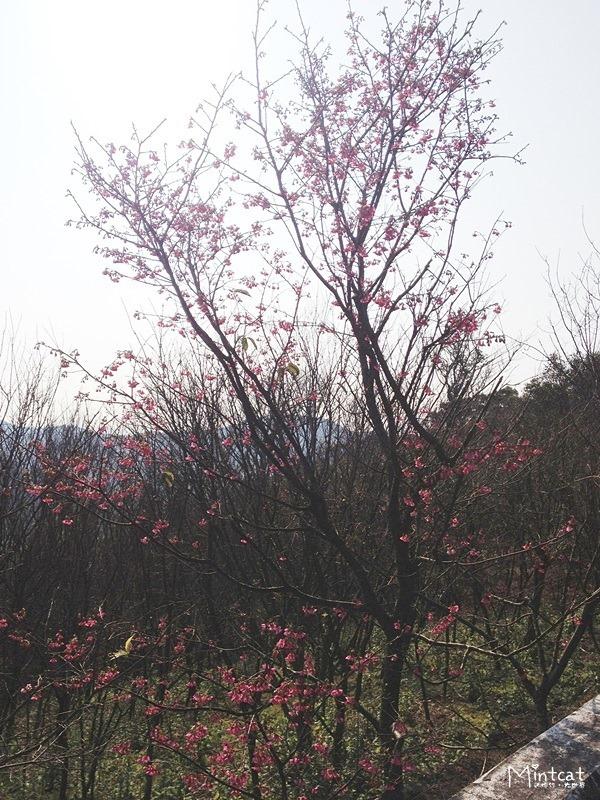 20140107-陽明山櫻花花況 (1)
