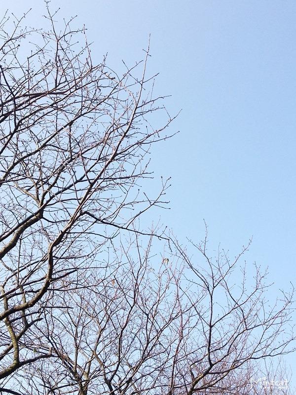 20140107-陽明山櫻花花況 (13)