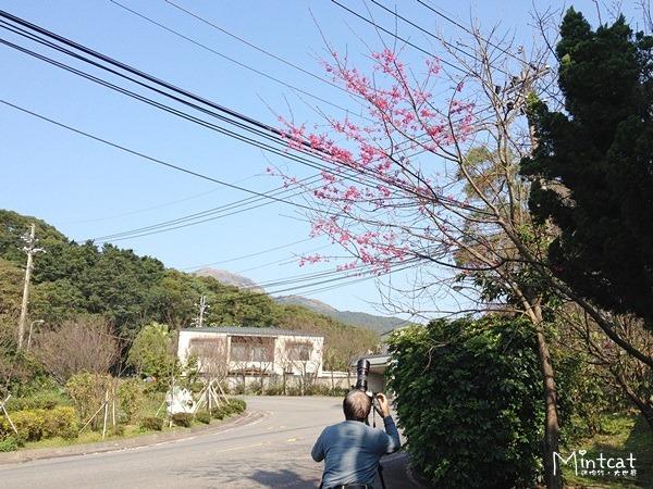20140107-陽明山櫻花花況 (17)