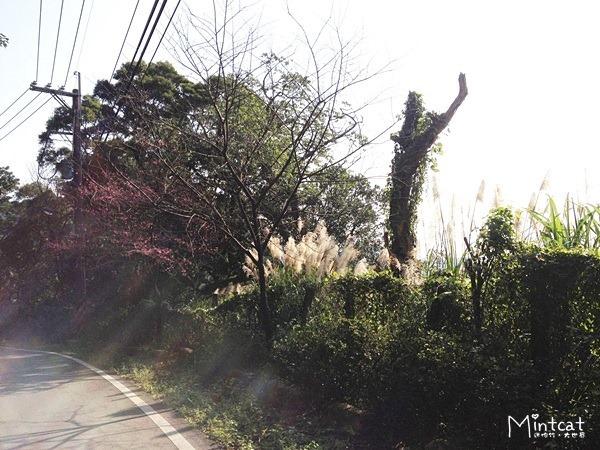 20140107-陽明山櫻花花況 (22)