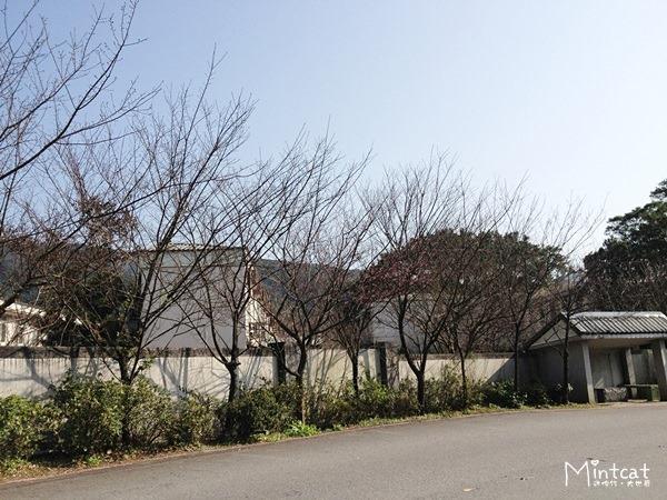 20140107-陽明山櫻花花況 (24)