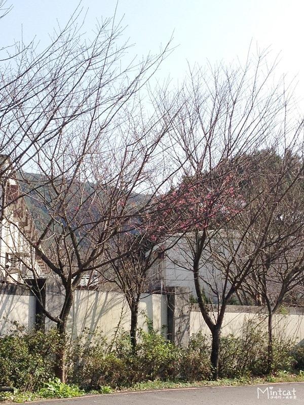 20140107-陽明山櫻花花況 (25)