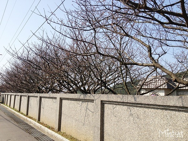 20140107-陽明山櫻花花況 (28)