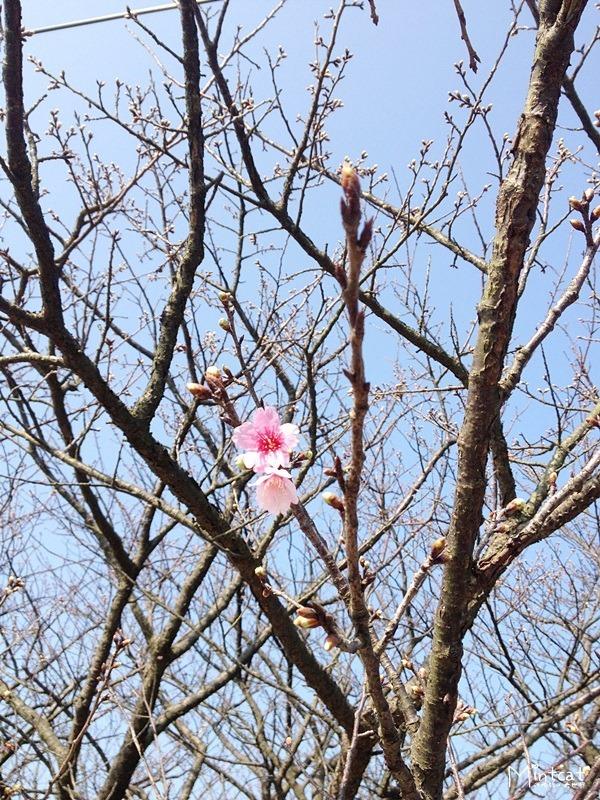 【陽明山櫻花】2014/01/07花況:東方寺、蔡博士、永公路、平菁街42巷