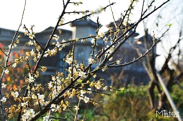 【陽明山花季】櫻花未開‧東方寺路旁先賞梅花(2014/01/08花況)