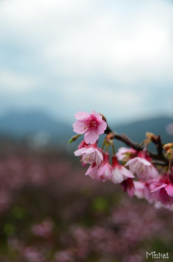【陽明山櫻花】2014/01/16花況:平菁街42巷櫻花漸漸開囉!