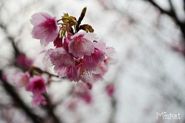 【陽明山櫻花】2014/01/18花況:平菁街42巷‧瘋櫻花開始囉!