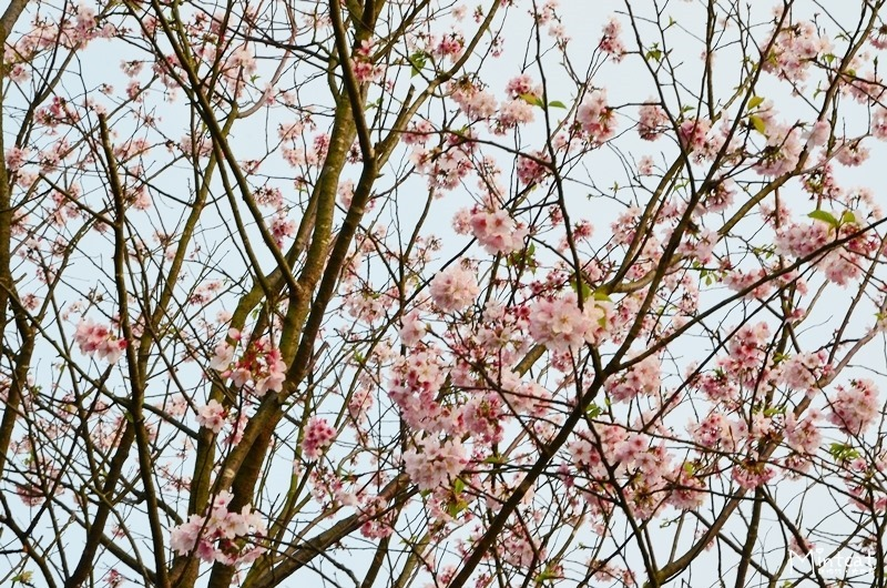 【陽明山櫻花】2014/03/17花況:蔡博士櫻花園